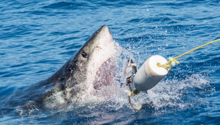 great white shark pokes face out for some fish bait