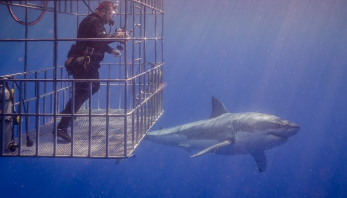shark gets up close to diver in cage