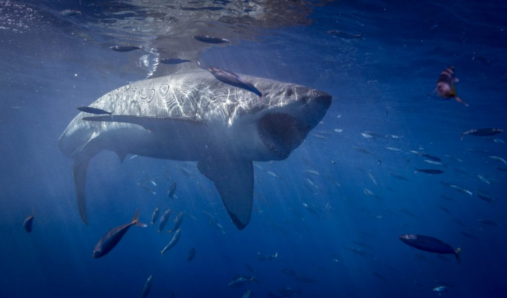 Great white shark cage diving at Guadalupe