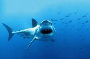Mr. Smiley at Guadalupe Island by Dan Orr