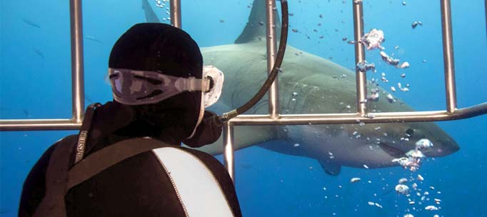 diver and great white shark watch each other separated by cage