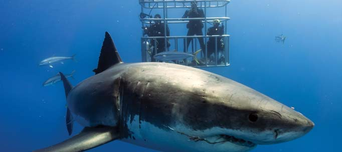 great white shark swims towards camera as three divers observe