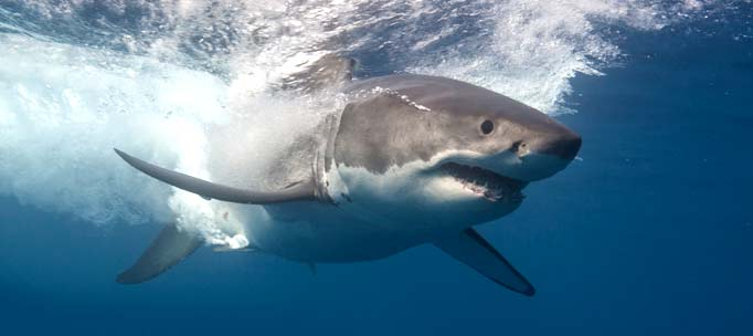 large great white shark re-enters the water after breaching