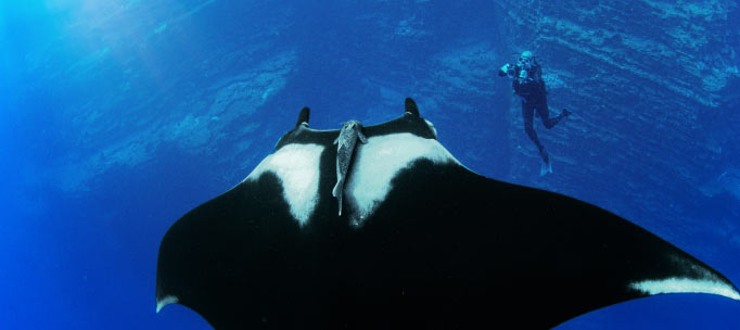 giant manta ray floats above a diver near a rock cliff