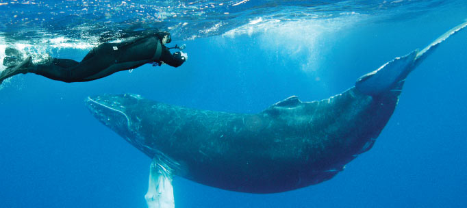 snorkeller watches enormous humpback whale