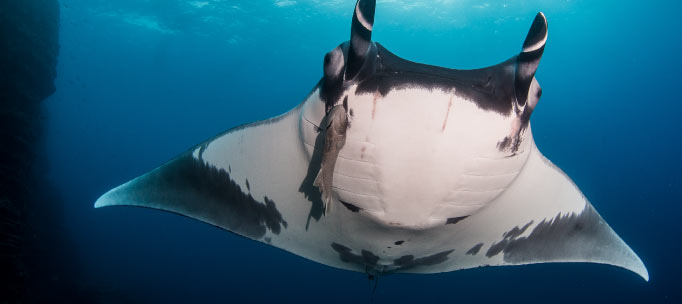 giant oceanic manta ray with remora from below