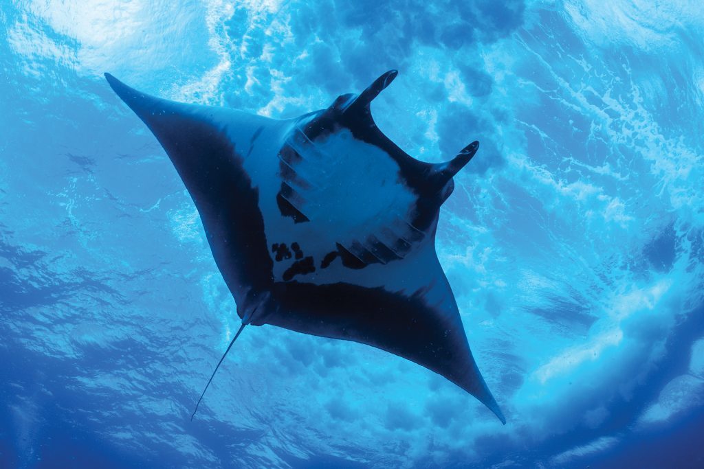 Friendly Manta ray