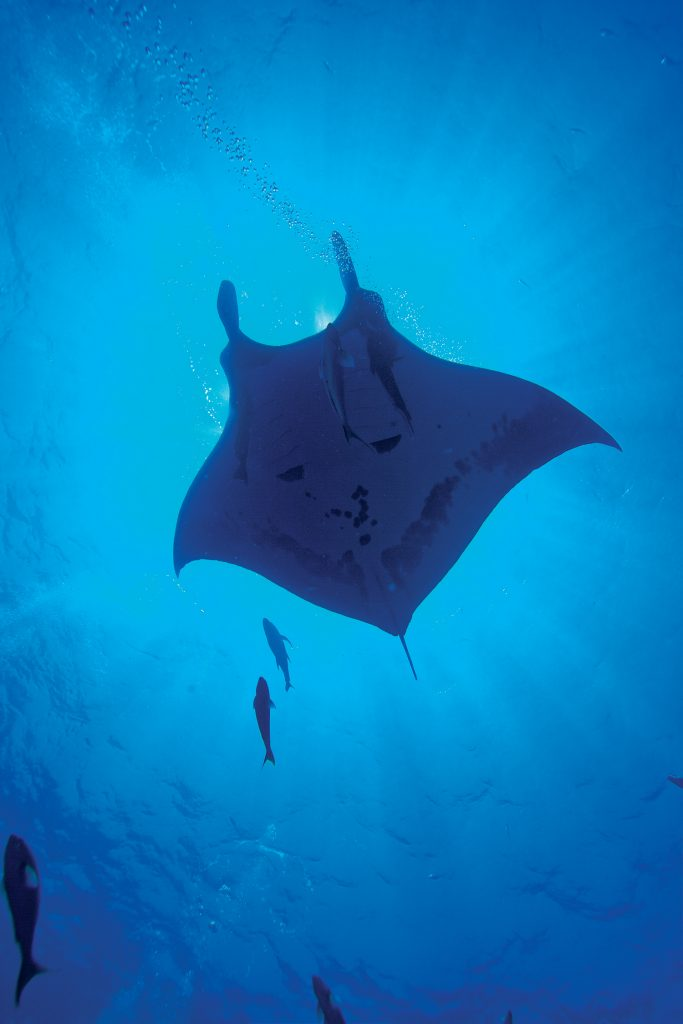 Giant Manta Ray at Socorro
