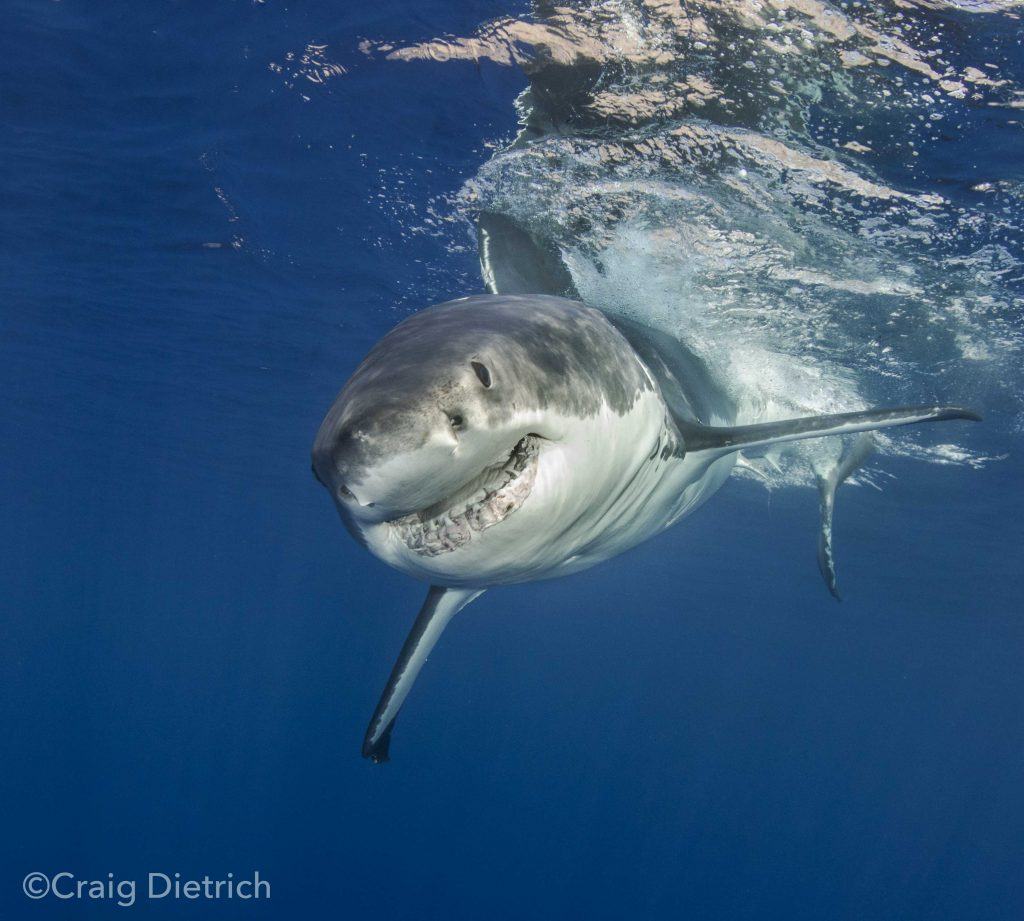 ©Craig Dietrich - white shark descending, showing multiple rows of teeth