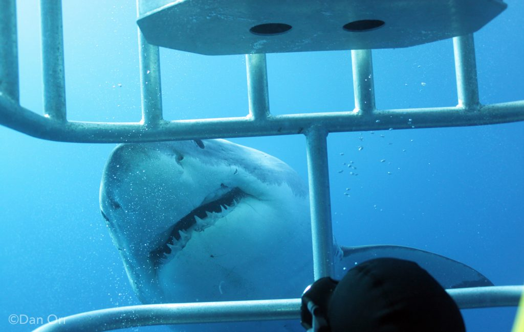 ©Dan Orr - great white gets in close for eye contact with diver