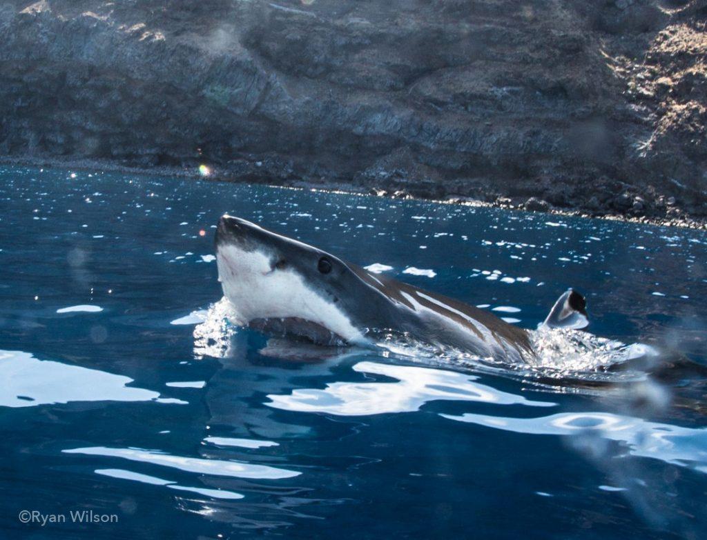 © Ryan Wilson - les grands sommets de requins blancs au-dessus de la surface
