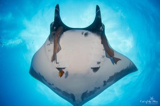 giant manta passes overhead