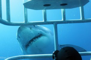 ©Dan Orr (2) - great white gets in close for eye contact with diver