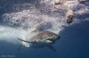 ©Marcel Wilpernig (3) - great white re-enters water to chase tuna bait