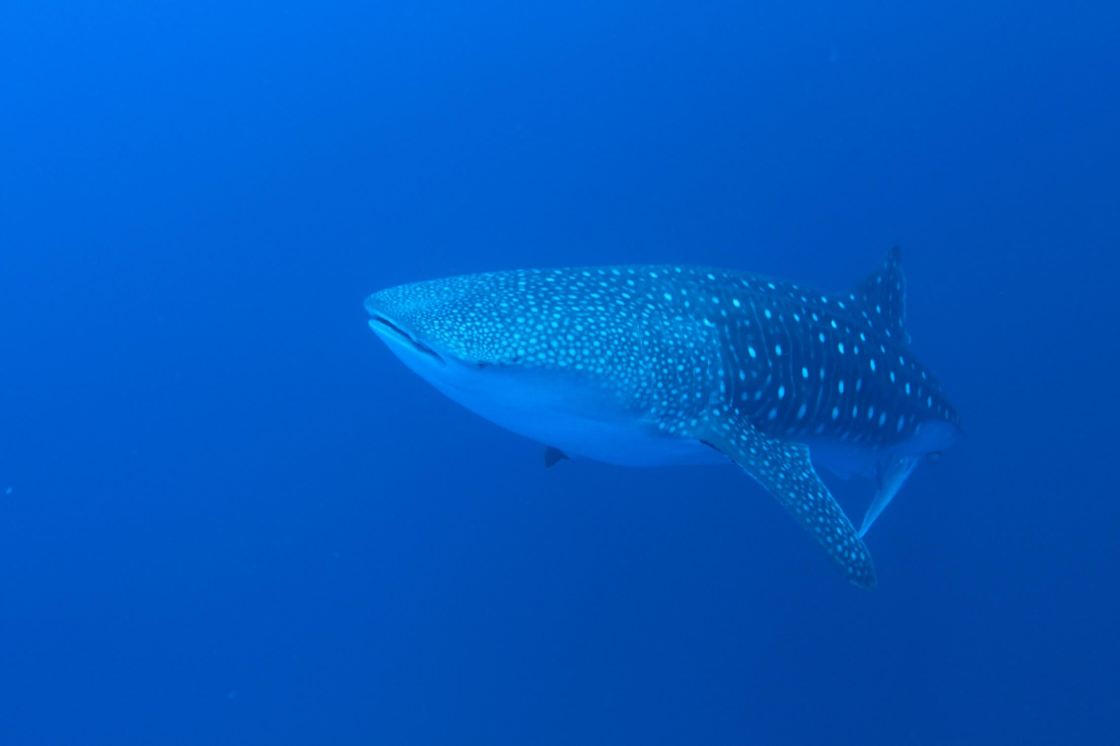 whale shark swims in the blue