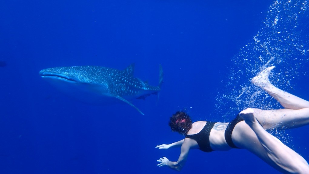 whale shark and snorkeller swim towards each other