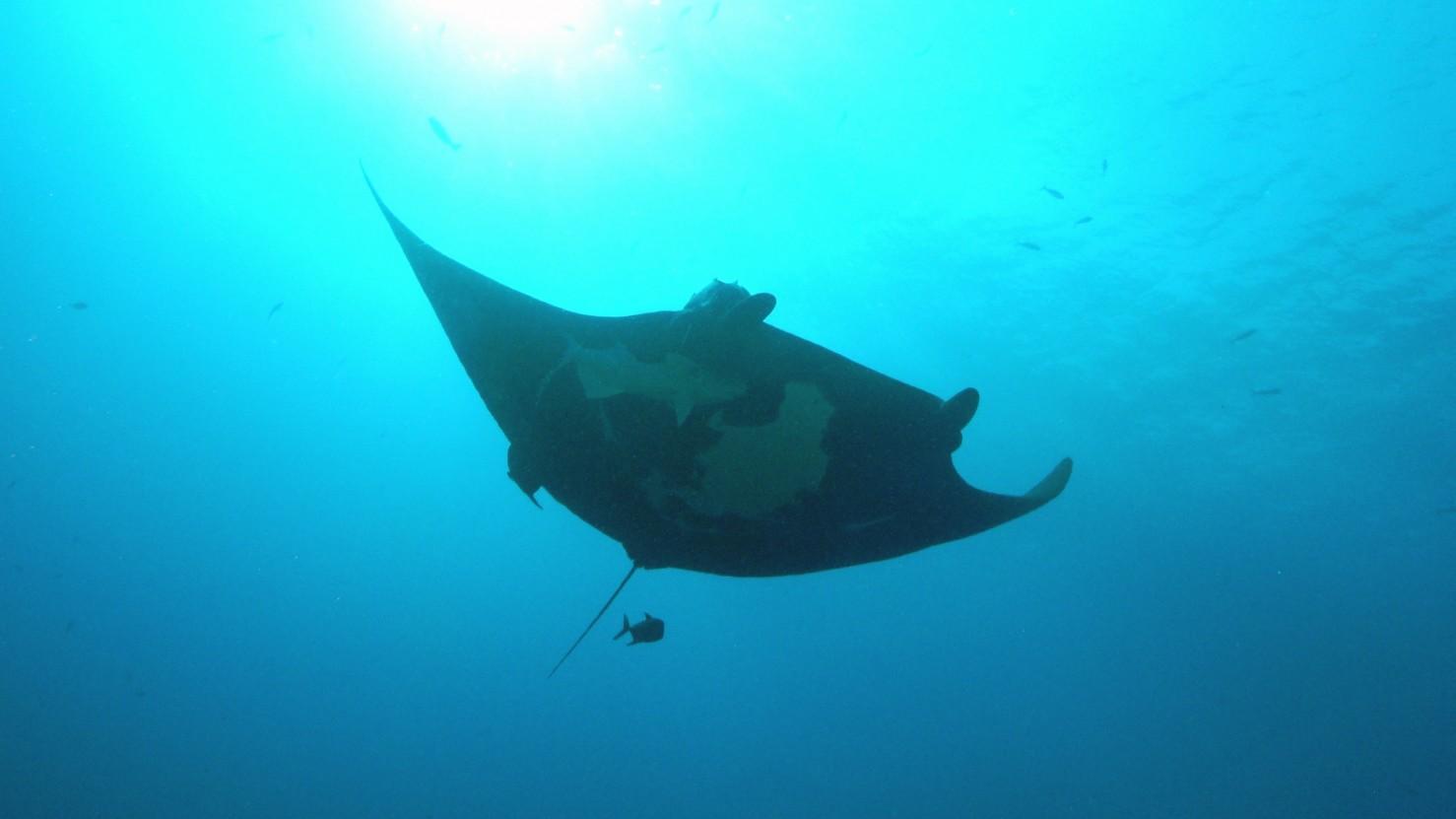 graceful manta in the blue waters of socorro