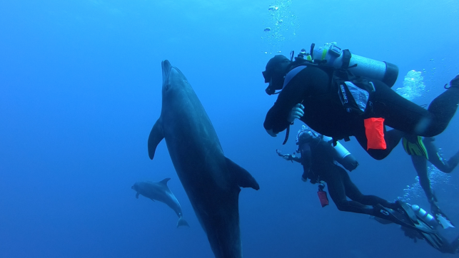 bottlenose dolphin is comfortably close with nautilus divers