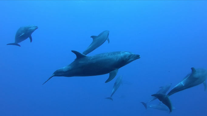 a pod of bottlenose dolphin swimming in all directions
