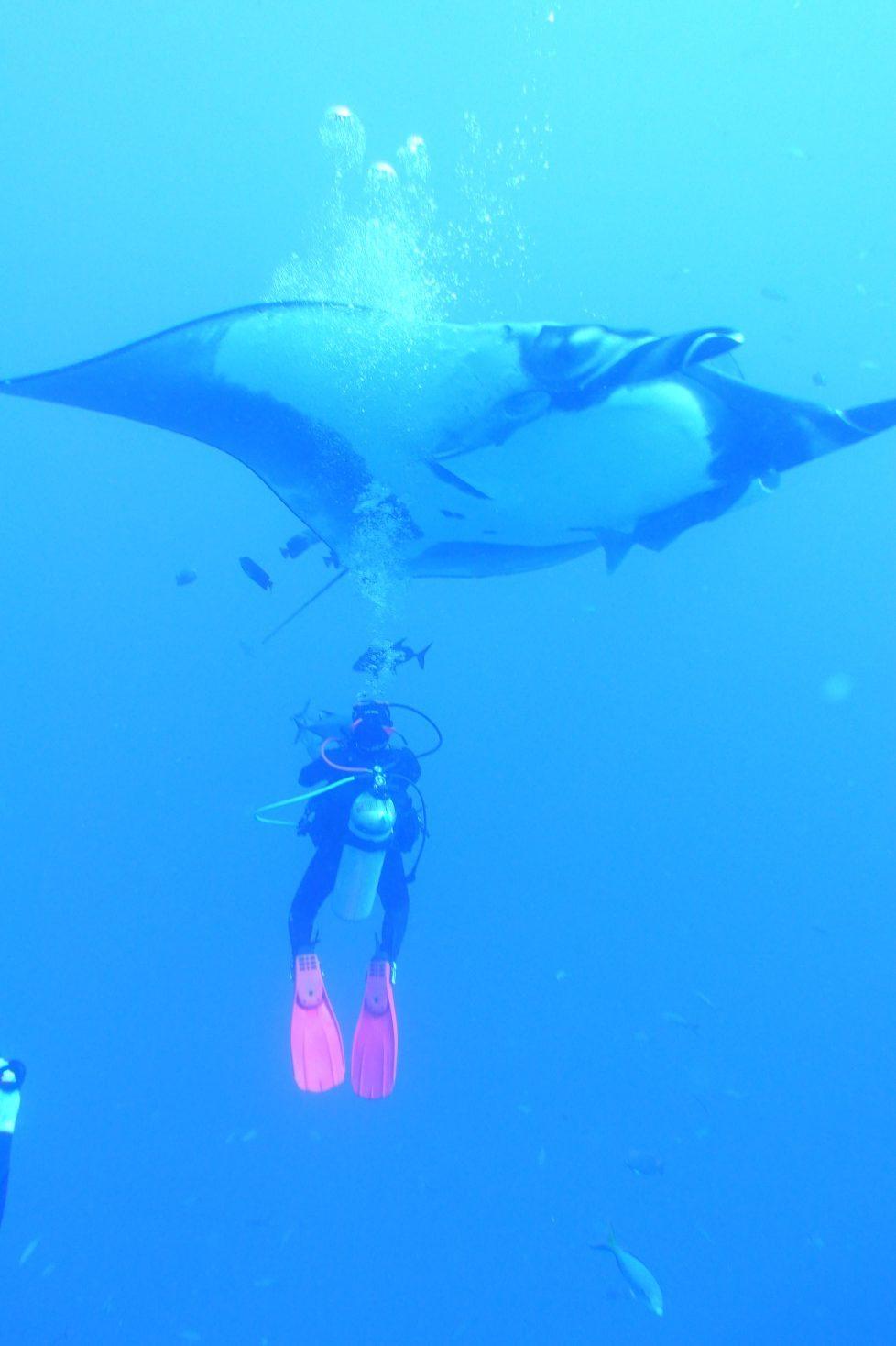 giant manta dwarfs diver observing from below