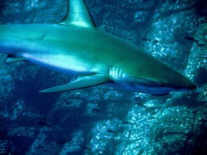 whitetip shark approaches rock shelf to rest