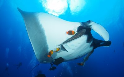 giant manta being cleaned by several clarion angelfish