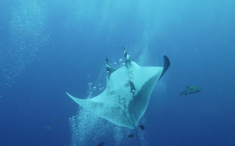 manta ray mid flip over a stream of bubbles