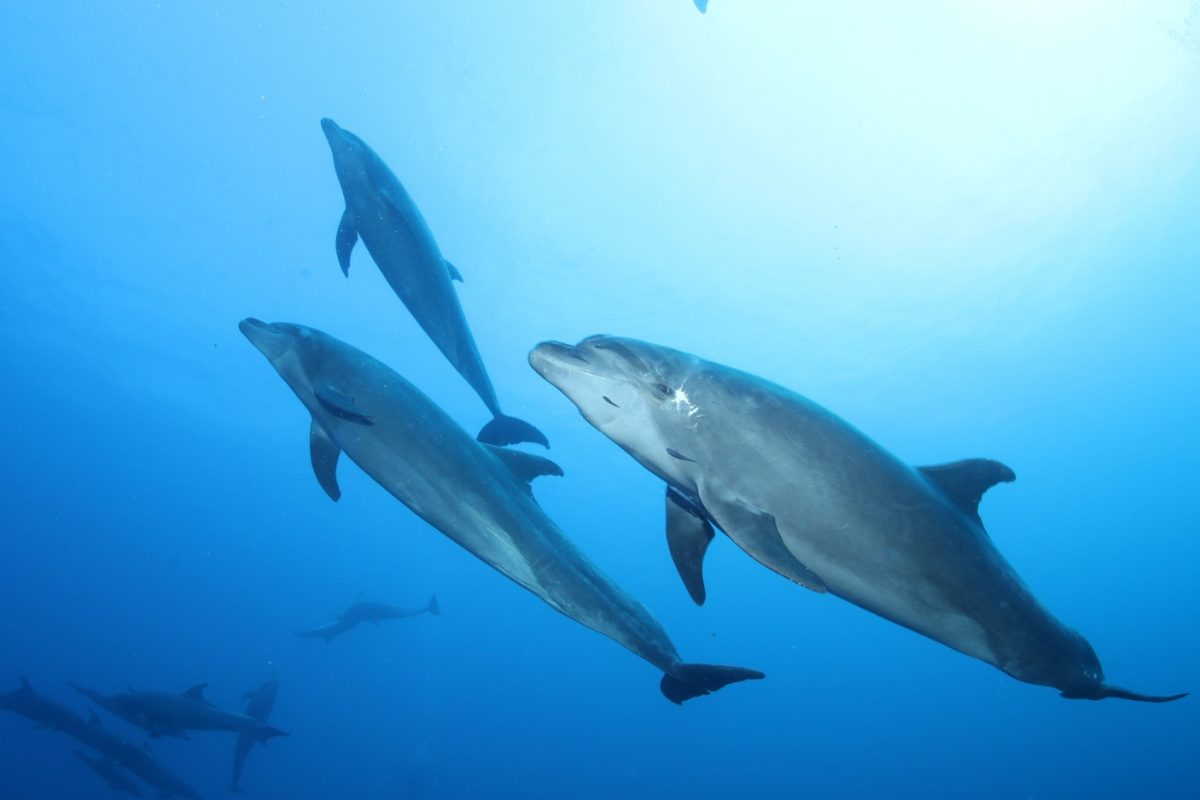three dolphins looking relaxed, with the rest of the pod in the background
