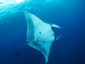 pale giant manta circles around divers