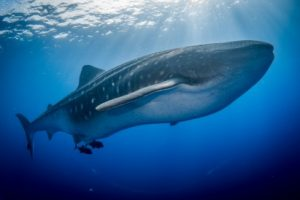 large whale shark in the vibrant blue waters of socorro