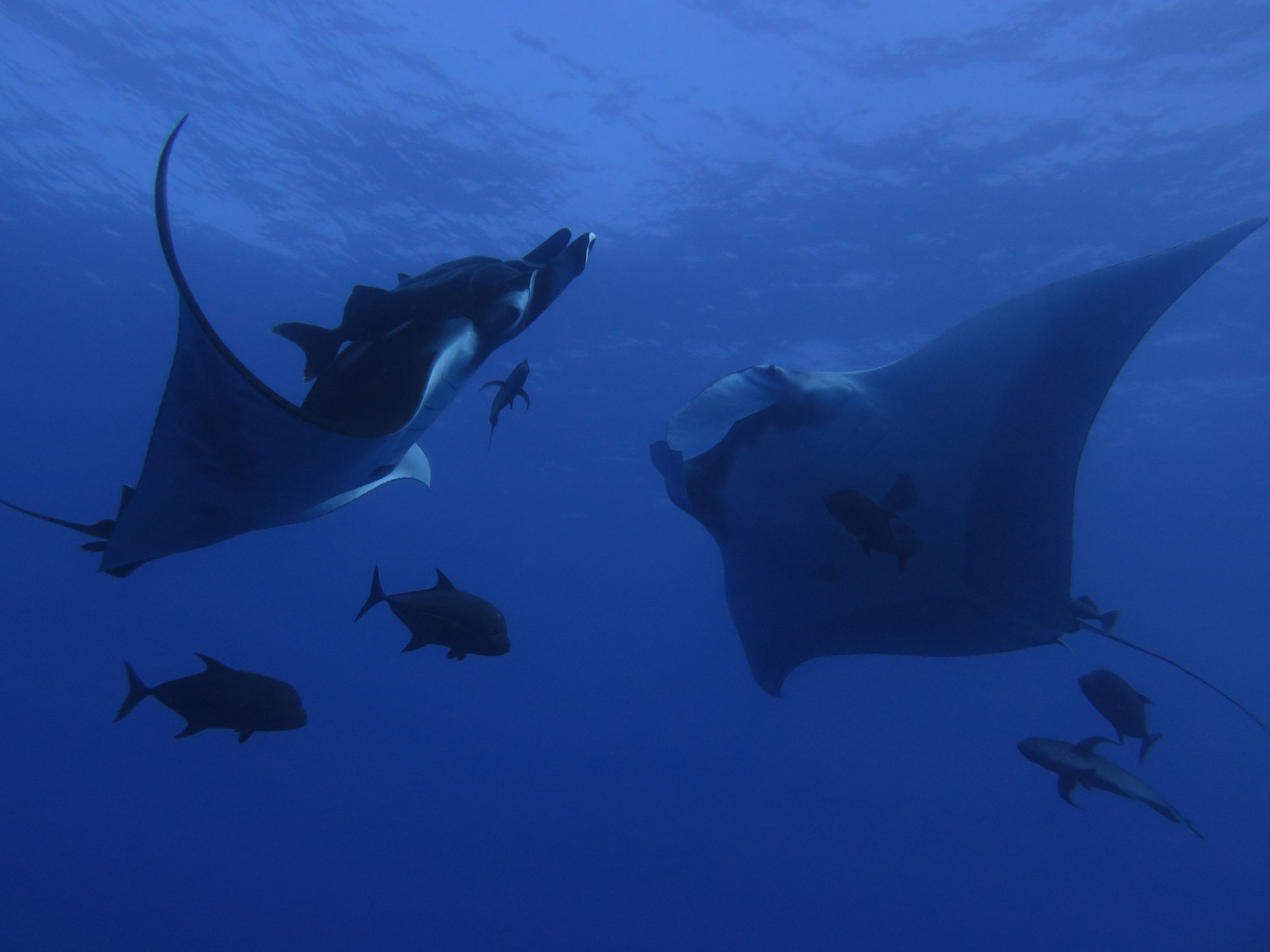 two giant manta rays seemingly doing an aquatic dance together