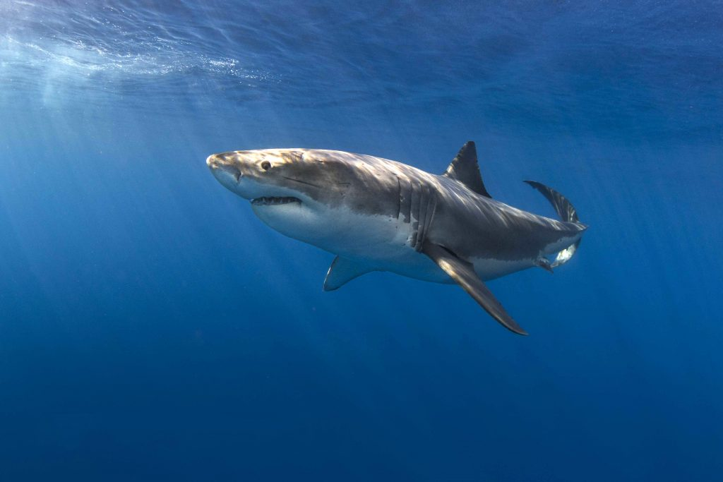 Portrait of a great white by Craig Dietrich