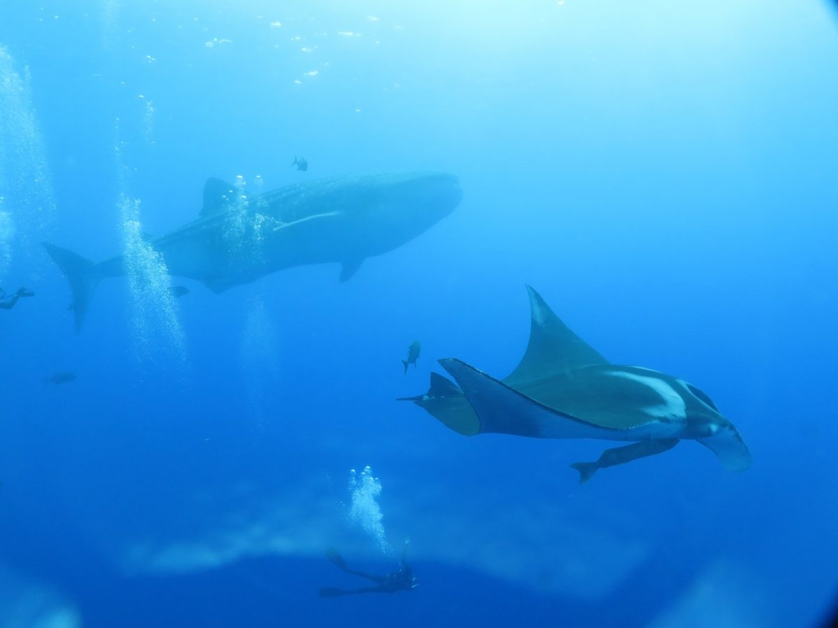 amazing photo of a diver swimming along a giant manta with a huge whale shark in the background