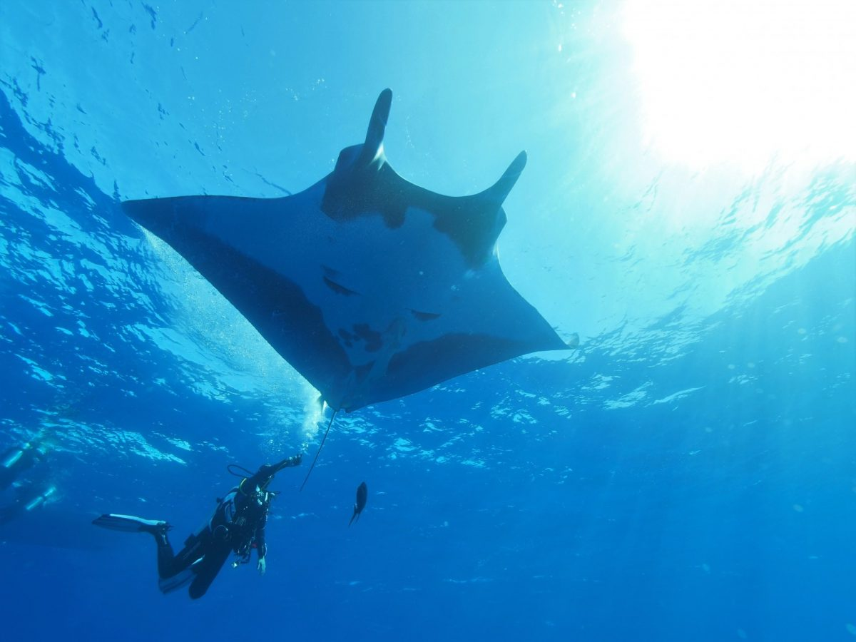 diver gets a good camera angle of a giant manta near the surface
