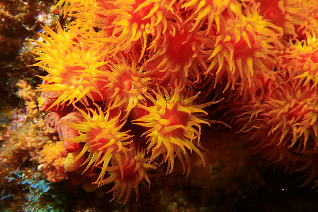 Anemones in the Sea of Cortés
