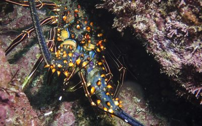 Colorful Lobster in the Sea of Cortez