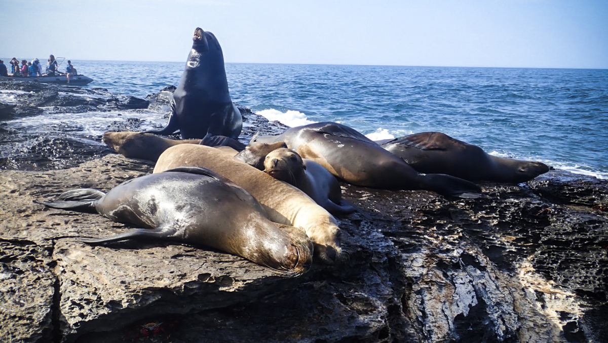 Playful Sea Lions in the Sea of Cortez