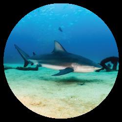 Cabo Pulmo Shark
