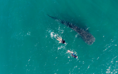 Sea of cortez Whale Sharks