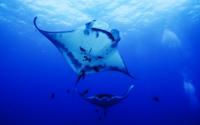 Dancing mantas at Socorro