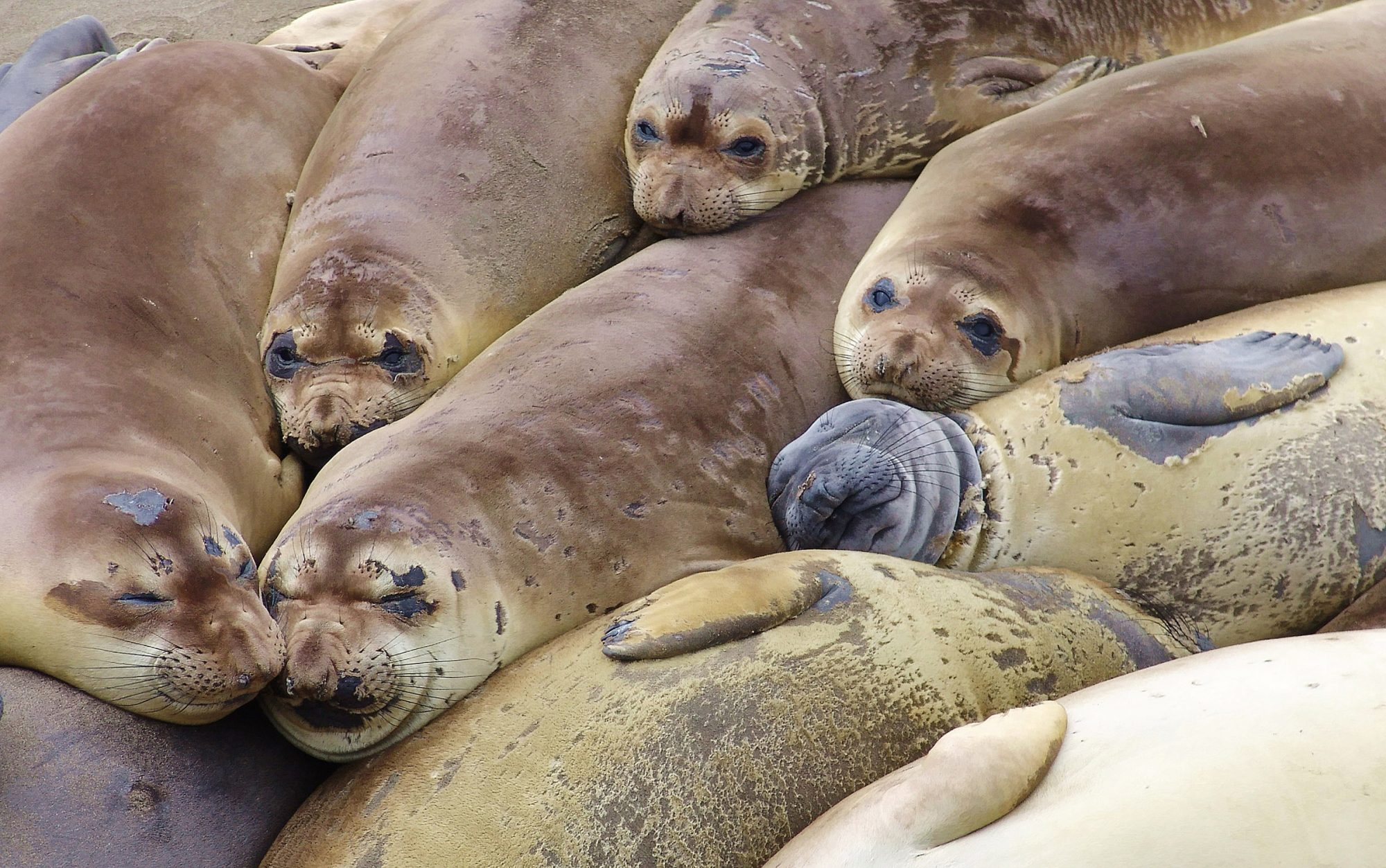 Northern elephant seals are just some of the animals of Guadalupe