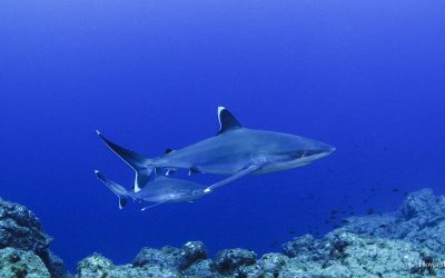 White Tip Sharks in Socorro, Photo by Howard Hall