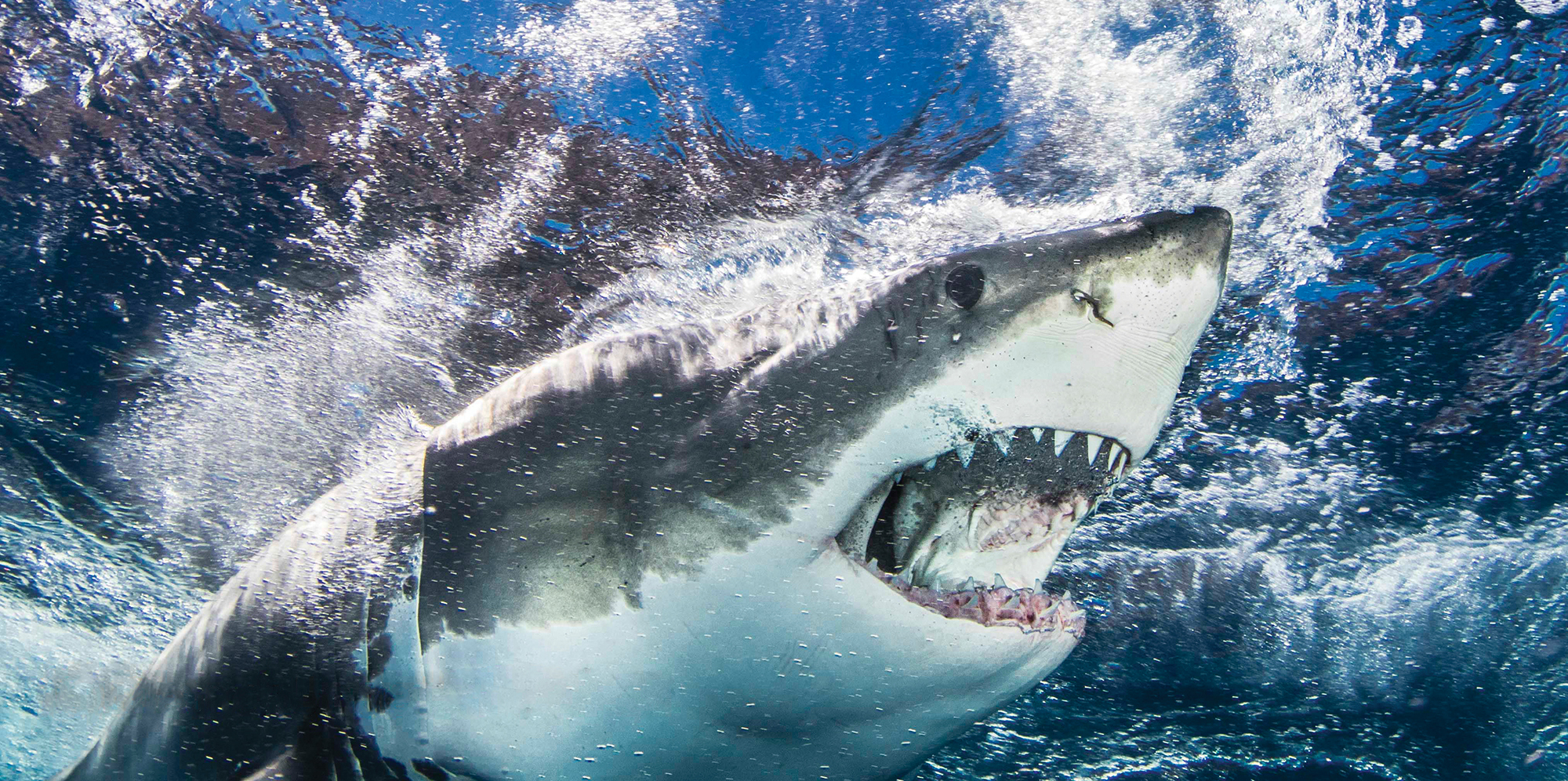 Shark Misconceptions, Photo By Craig Dietrich