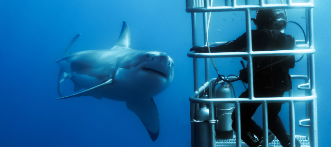 great white shark appears to inspect a shark diver in a cage