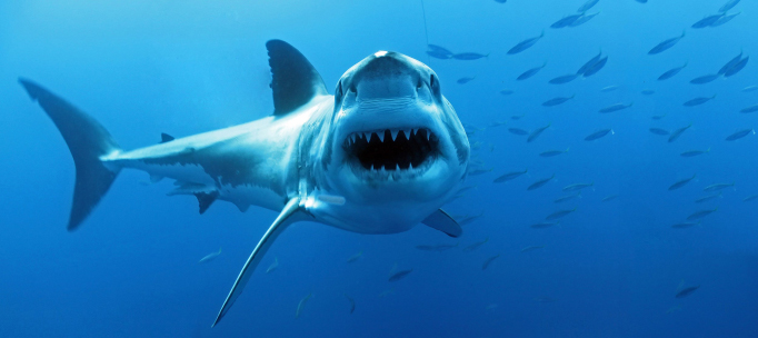 great white shark bares jaws for the camera