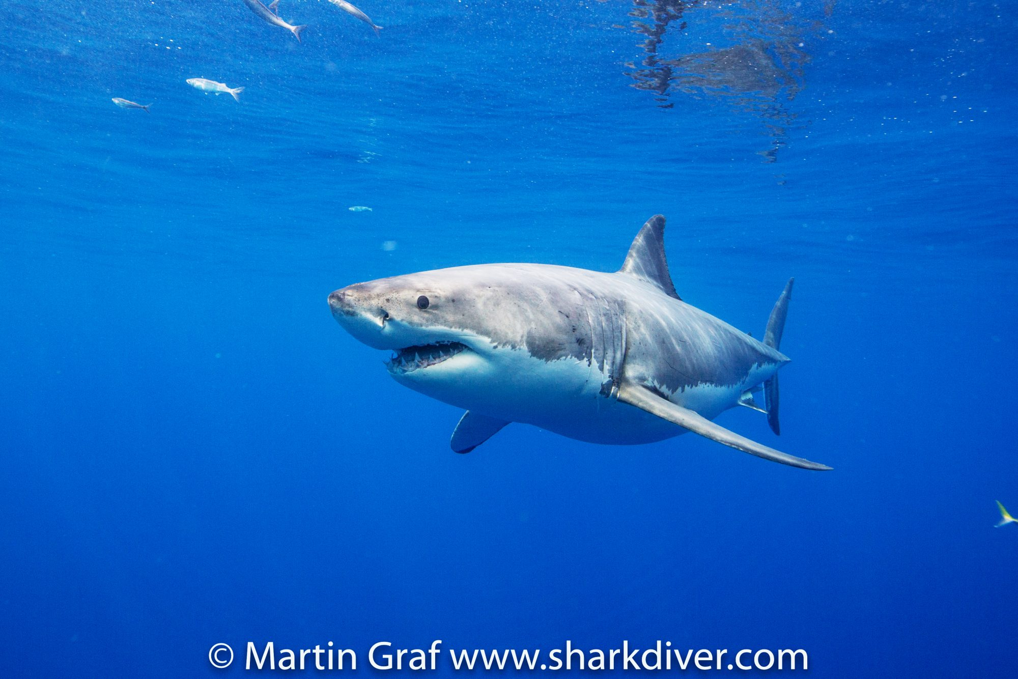 Great White, photo by Martin Graf of Shark Diver