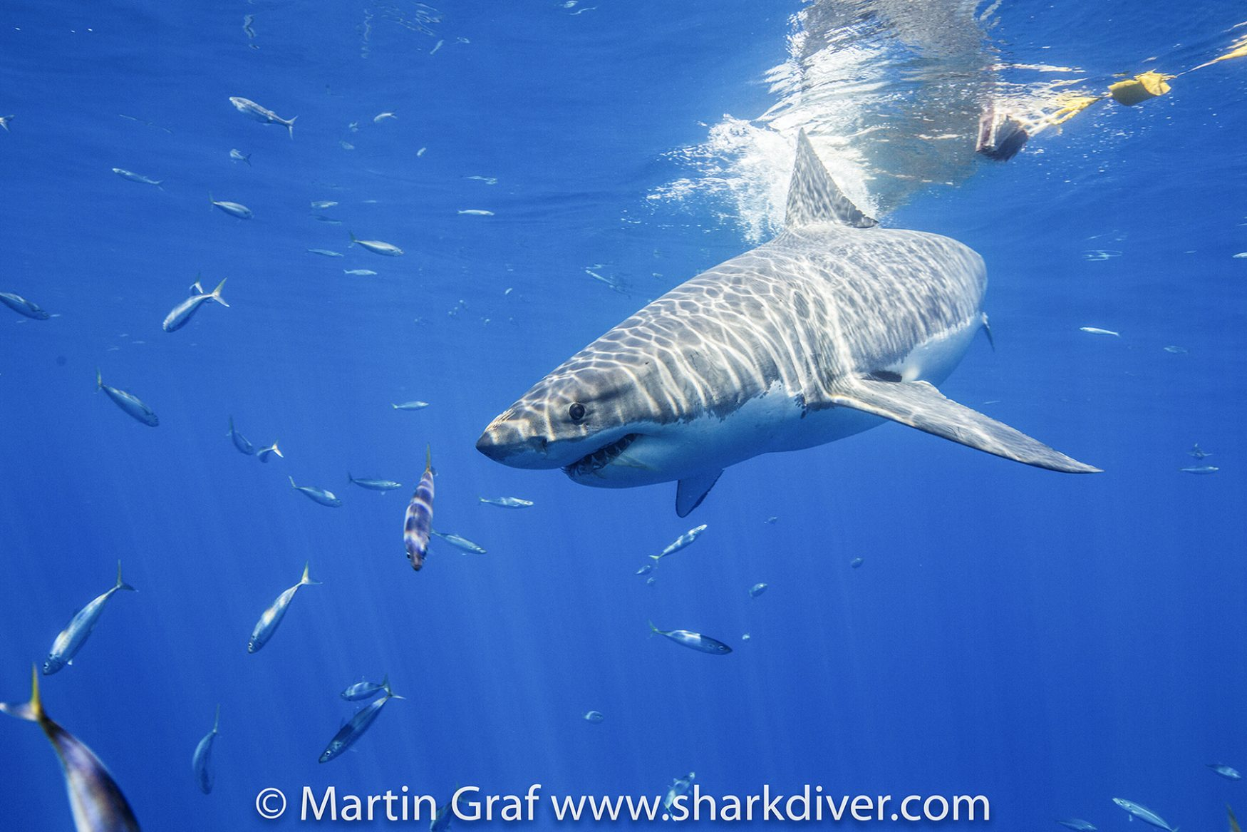 A great white misses the tuna at Guadalupe, Photo by Martin Graf