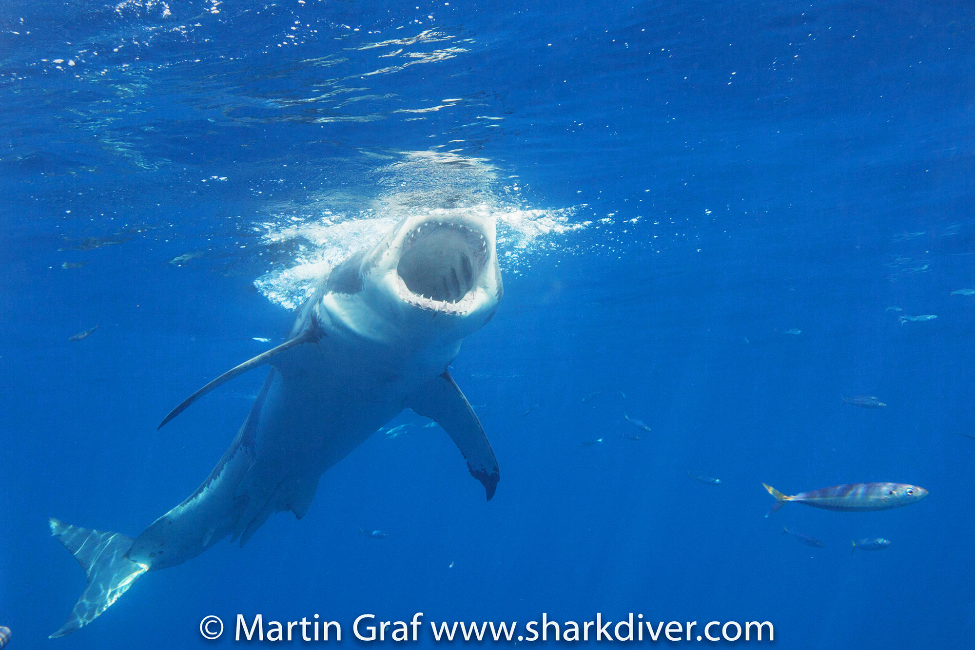 White Shark goes for the bait, Photo by Martin Graf