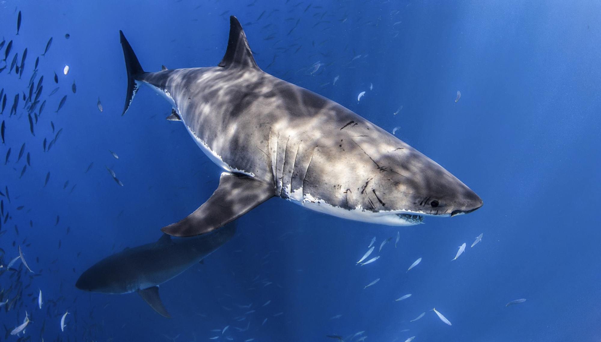 Two great whites at Guadalupe