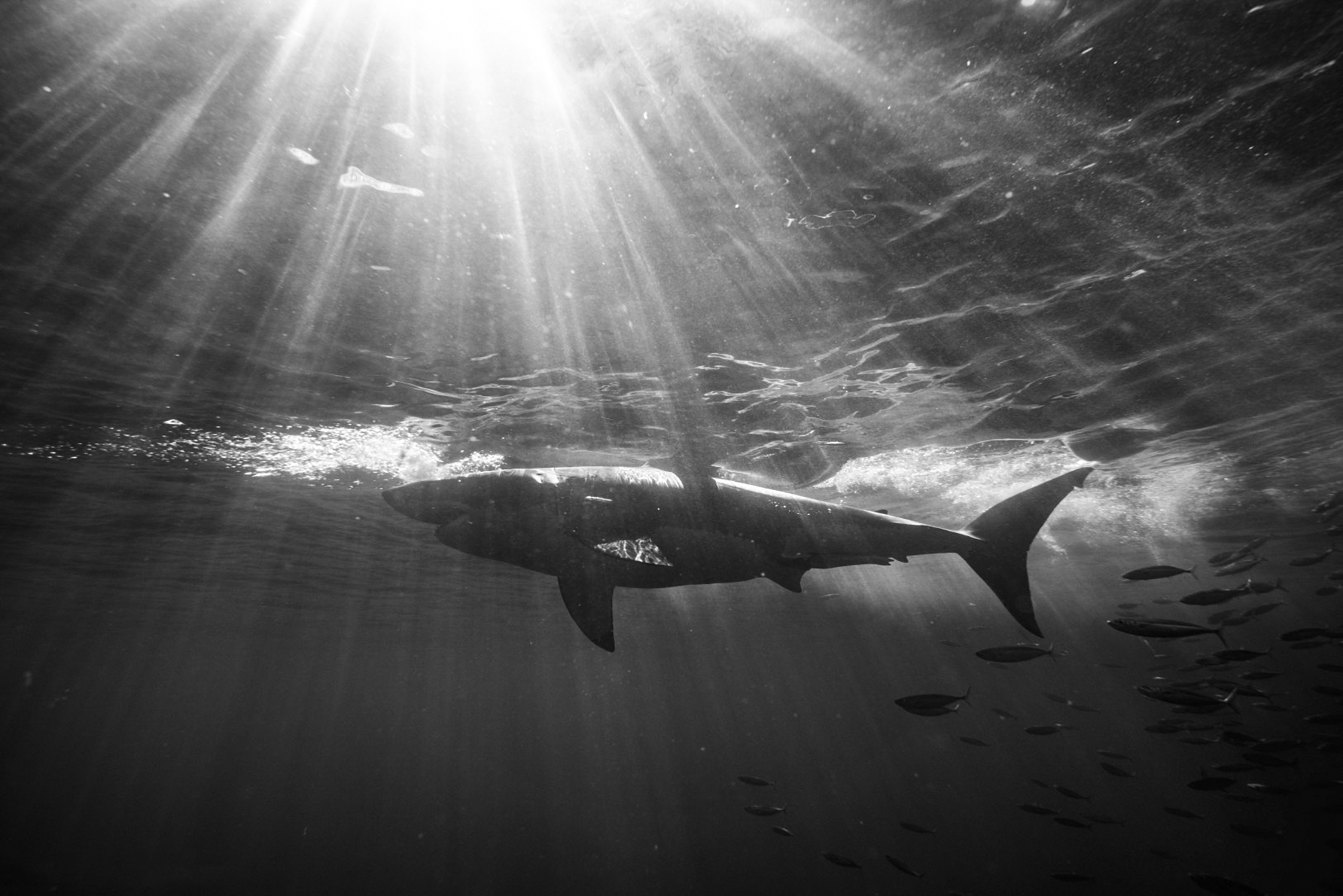 A black and white shark in the god rays, Photo by Saunders Drukker